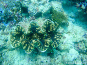 Clam Seychelles Nov 2015 .©CO WiseOceans