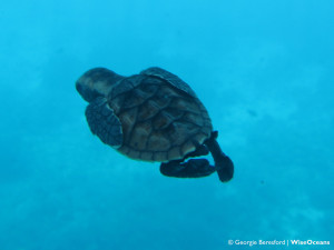 One of our rescued hawksbill hatchlings back in the big blue
