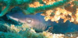 juvenile-whitetip-reef-shark-indonesia
