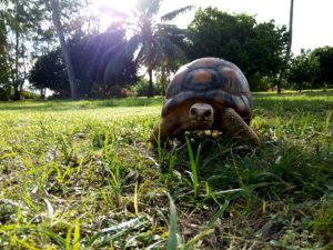 Tortoise on Bird Island, Seychelles © Krishna Ashok