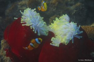 Mauritian anemonefish and anemone