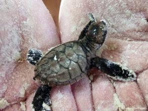 Tiny turtle hatchling