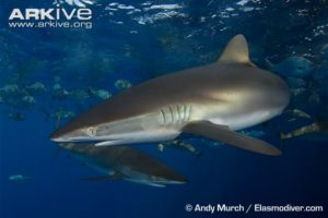 silky-sharks-swimming-near-surface