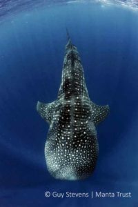 whale-shark-cruising-hanifaru-outside-baa-atoll-maldives-guy-stevens-manta-trust-2009