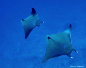 mobula-ray-x-2-maldives-ah-wiseoceans