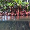 Mangroves, above and below